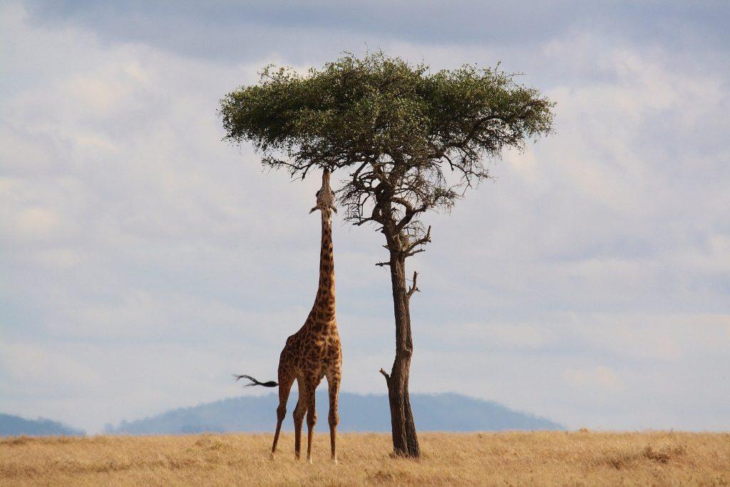 jumelles safari